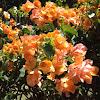 Pukanawila - Bougainvillea - Paper Flower