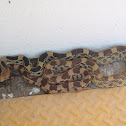 Mexican Pinesnake