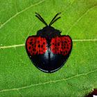 echoma tortise beetle