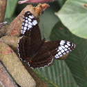 White-spotted Sister