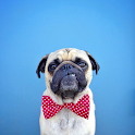 Pugs Wallpapers