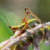 fork-tailed bush katydid Juvenile