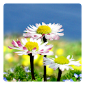 Daisy Flowers Free Wallpaper logo