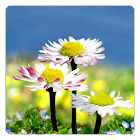 デイジーの花の無料壁紙 icon