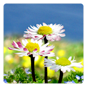 Daisy Flowers Free Wallpaper
