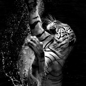 Tiger in water by Ivan Lee - Black & White Animals ( canon, water, splash, tiger, jump,  )