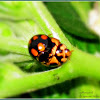 Variable Ladybirds (Mating)