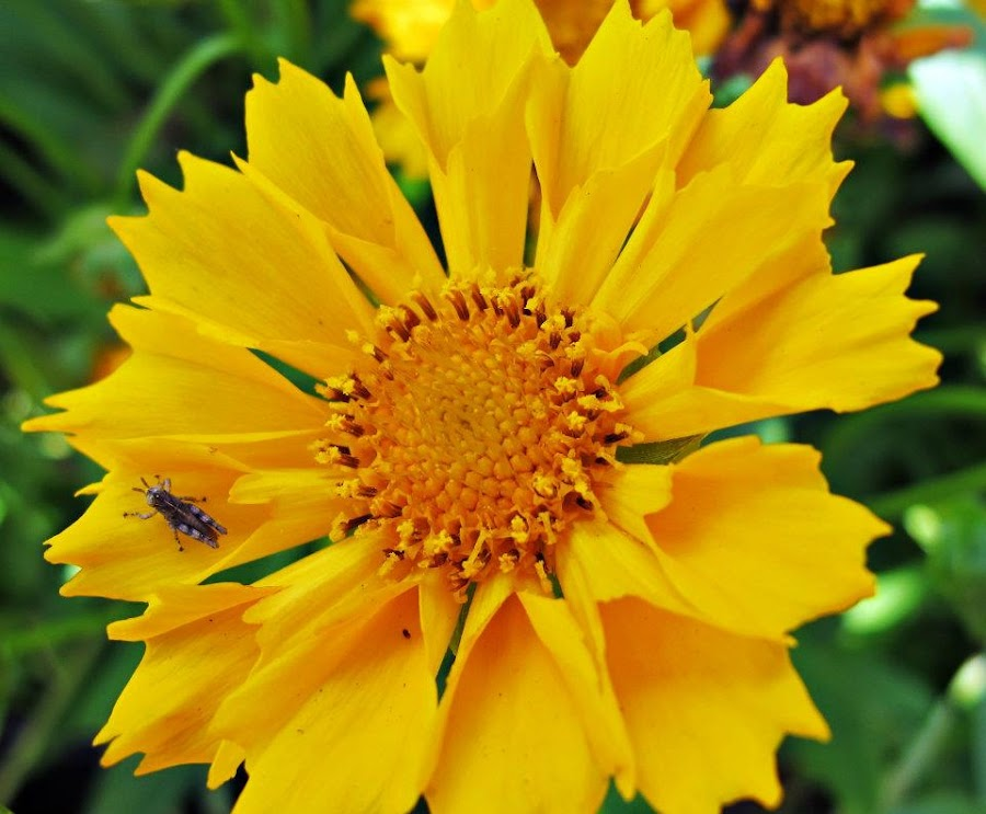 Coreopsis by Amy Nebb - Novices Only Flowers & Plants