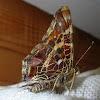 Map-butterfly.Пестрокрыльница изменчивая (весенняя форма)