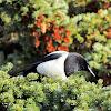 Alaska Magpie