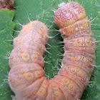 Ovate Dagger Moth Caterpillar