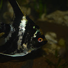 Marble AngelFish