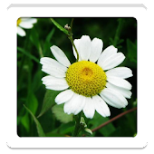 Camomile HD Wallpapers