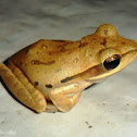 Spotted tree frog