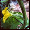 Flor hembra de pepino.