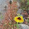 common blanketflower/ gaillardia