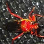 Short elytra longhorn beetles