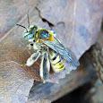 Brazilian Bees and Wasps - Abelhas e Vespas Brasileiras