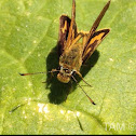 Green Grass Dart-Skipper Butterfly