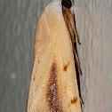 Nolidae Moth