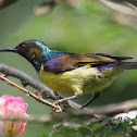 Brown - throated Sunbird (Male)