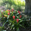 Red Torch (Bromeliad)