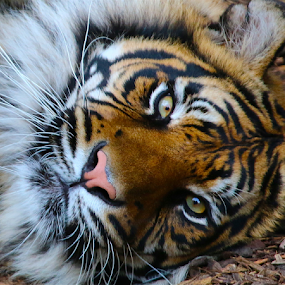 TIGER AT REST by John Dutton - Animals Lions, Tigers & Big Cats ( cats, tiger, sumatra, lazy, rest )