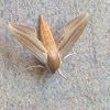 Tersa Sphinx Moth