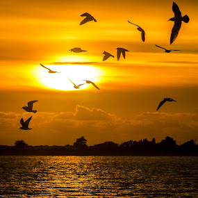 Seagulls in Sunset by Bela Paszti - Landscapes Sunsets & Sunrises ( water, west sussex, west wittering, wittering, sea, beach, nikon d7000, sun, bird, england, seagull, sunset, sunday,  )