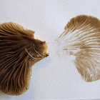 Crepidotus