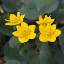 Marsh - marigold