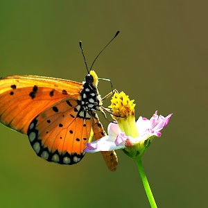 kupu cantik1.jpg