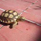 Sulcata Tortoise or African Spurred Tortoise