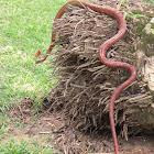 Neotropical Bird-Eating Snake