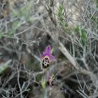 Heldreichs Orchid , Όφρυς του Heldreich