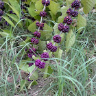 French Mulberry/American Beautyberry