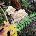 Cauliflower mushroom