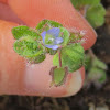 Ivy-leaved Speedwell