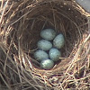 Crow Nest with Eggs