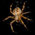 Cross Spider (female)