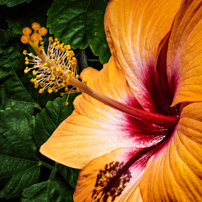 Gold Hibiscus by Joseph Vittek - Flowers Single Flower ( plant, orange, hibiscus, tropical, shrub, bush, flower,  )