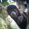Mantled Howler Monkey (juvenile)