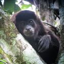 Mantled Howler Monkey (juvenile)