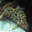 Black Grouper (juvenile)
