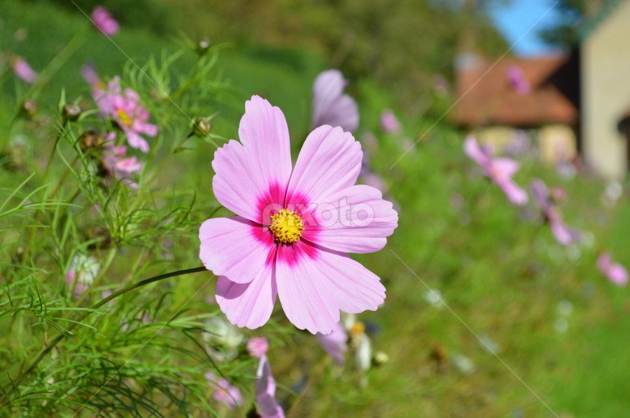by Iain Weatherley - Flowers Flowers in the Wild ( pink flower, wild flower, single flower, flower,  )