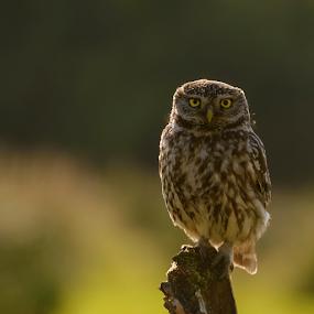 Intense by Robert van Brug - Animals Birds ( steenuil, bird, vogels, little owl, athene noctua, adult, intense look )