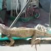 Iguana común
