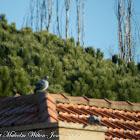 Feral Rock Pigeon; Paloma Bravía