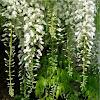 Wisteria floribunda alba (Glicinia blanca)