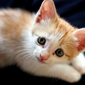 Pepper by Karthic Kumar - Animals - Cats Kittens ( kitten, cat, cute., kitty )